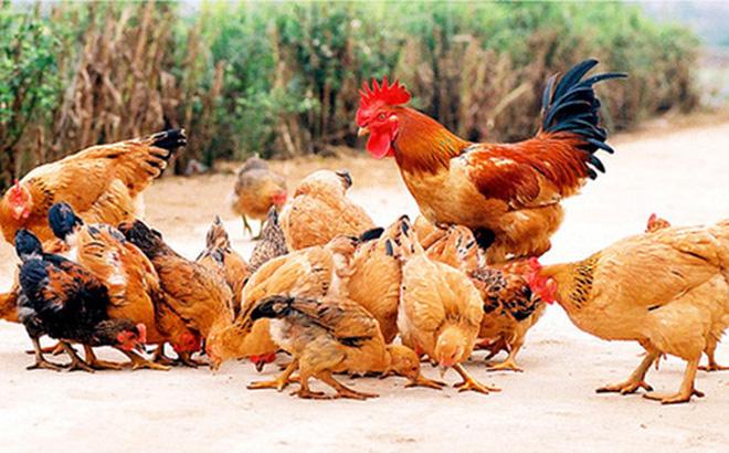 Bộ phận con gà không tốt cho sức khỏe